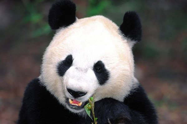 熊猫食竹水墨画图片