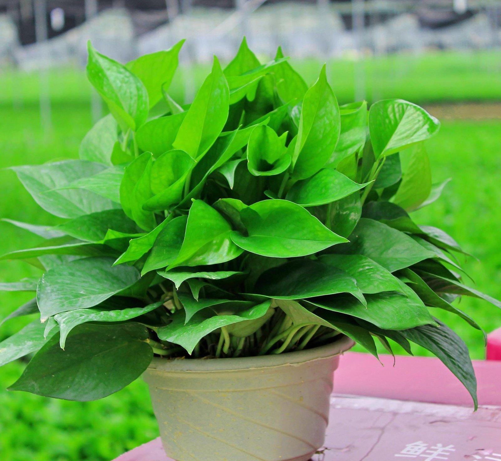 盆栽植物图片及名称大全 15种室内绿化必备盆栽植物