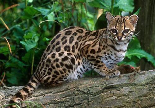 亚洲豹猫_5/10 豹猫是一种产于亚洲的猫科动物,体型与家猫相仿,体长在40-60
