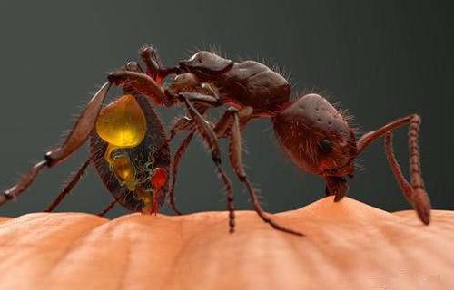 世界十大蜇人最疼昆虫排名 美洲火蚁只能排第九